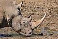 White Rhino (Ceratotherium simum) (32932847582).jpg