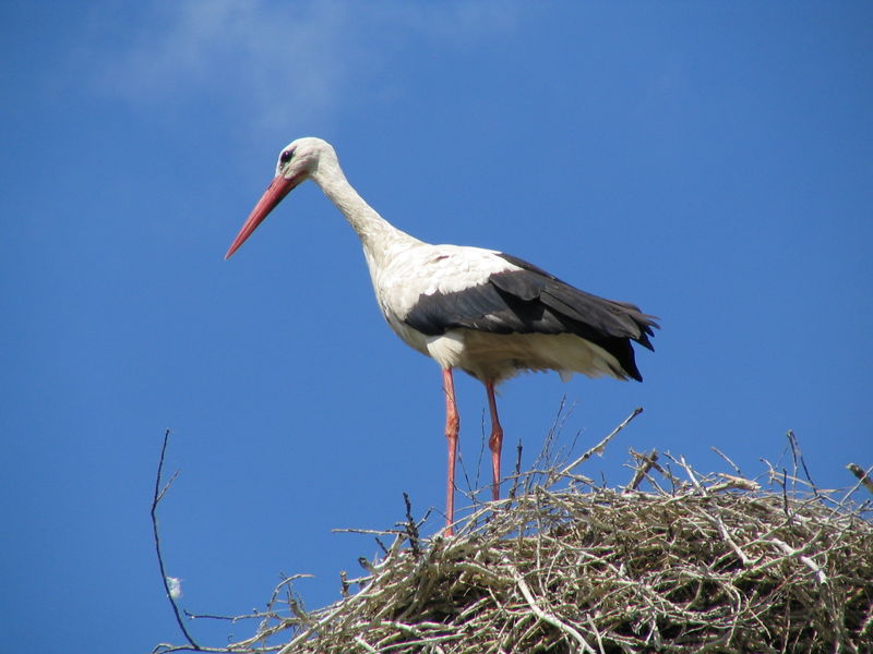 Soubor:White Stork (Ciconia ciconia).jpg