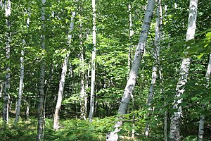 Betula papyrifera - White birch at Acadia National Park in Maine