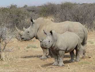 Southern white rhinoceros - A southern white rhino mother with calf in Namibia.