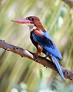 White throat Kingfisher Uthandi TN Feb21 D72 19860.jpg