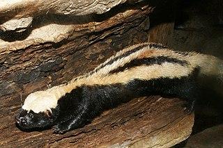 African striped weasel species of mammal