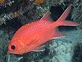 Whitetip soldierfish (Myripristis vittata) (46891869004).jpg