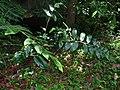 Wild Ginger (Zingiberaceae) (15446740549).jpg