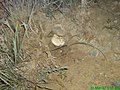 Wild Mashroom under a Stone at Chiltan - panoramio.jpg