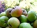 Wild apples 4.JPG