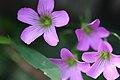 Wild flowers in Tianmu - panoramio.jpg