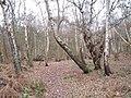 Winterdown wood - geograph.org.uk - 94585.jpg