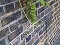Wisteria sinensis - London 2.jpg