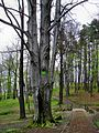Witostowice, stare buki w parku.jpg