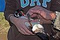 Wood Duck (6214578700).jpg