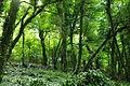 Woodland north of Penlee Point (0072).jpg
