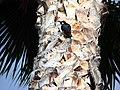 Woodpecker in Palm 6-15-13 (9120002180).jpg
