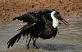 Woolly-necked stork, Bishop stork or White-necked stork, Ciconia episcopus, at uMkhuze Game Reserve, kwaZulu-Natal, South Africa - having a bath (15301619030).jpg