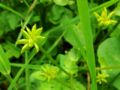 XN Caltha palustris fruits 01.jpg