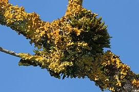 Xanthoria parietina 4 Richard Bartz.jpg