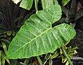 Xanthosomasagittifolium.jpg