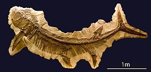 Xiphactinus - Xiphactinus fossil from the National Museum of Natural History