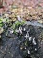 Xylaria hypoxylon 109301440.jpg