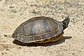 Yellow-bellied slider (06).jpg