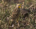 Yellow-throated Longclaw (Macronyx croceus) (20531175133).jpg