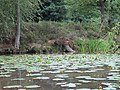 Yellow Water Lily - geograph.org.uk - 2500878.jpg