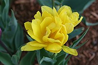 Yellow tulip. Taken May 2005, Cambridge MA USA...