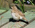 Young Songthrush sunbathing. Turdus turdus - Flickr - gailhampshire (1).jpg