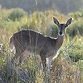 Young Waterbuck (2813501500).jpg