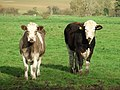 Young cattle - geograph.org.uk - 610821.jpg