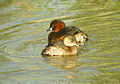 Zampullín, madre e hijo - cabusset - little grebe, mom and son - tachybaptus ruficollis.jpg