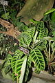 Zebra Plant (Calathea zabrina) Arrowroot Family (3072510729) (2).jpg