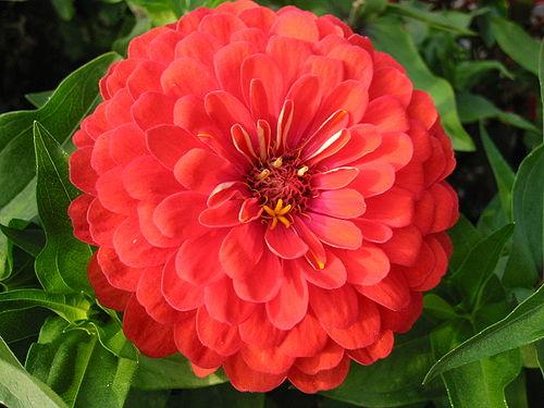 Wikijunior Flower Alphabet Z Wikibooks Open Books For