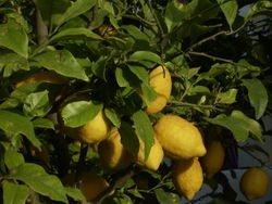 Zitronen abends.jpg