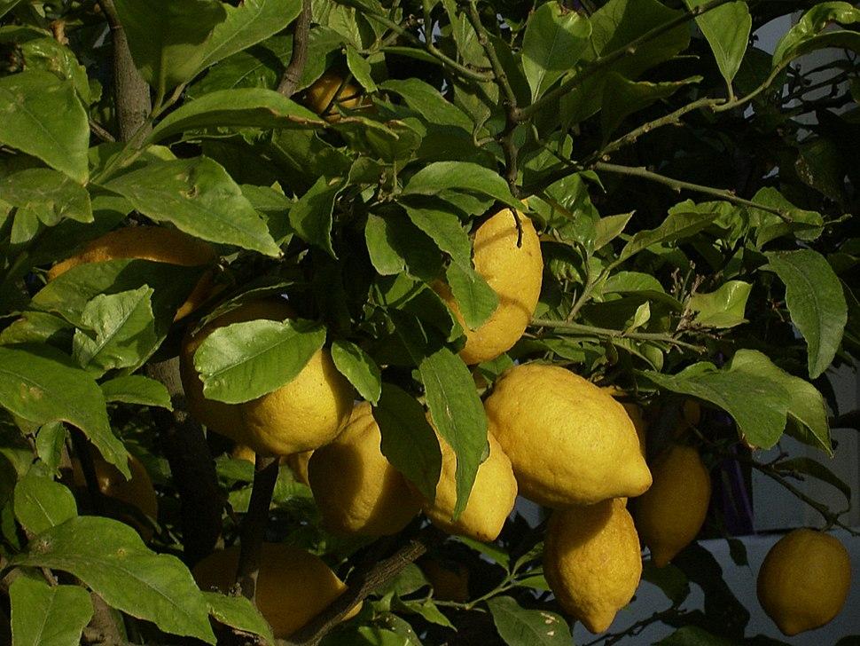 Zitronen abends