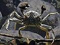 Zoo Köln Eriocheir sinensis 31122014 1 bis.jpg