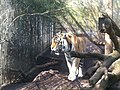 Zoo tiger - panoramio (1).jpg
