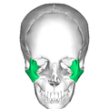 Zygomatic bone anterior2.png