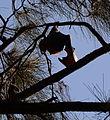 (1)Bats Centennial Park 037.jpg