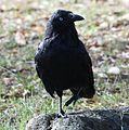 (1)Crow-2aabb.jpg