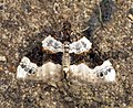(1752) Purple Bar (Cosmorhoe ocellata) (6006073372).jpg