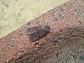 (2188) Clouded Drab (Orthosia incerta) (3353726480).jpg