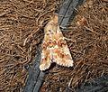 (2352) Dusky Sallow (Eremobia ochroleuca) (3119533343).jpg