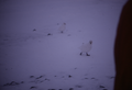(Arctowski) Paloma Antartica (1).png
