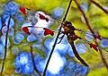 ( Krikit ) - Dragonfly in a tree (by).jpg