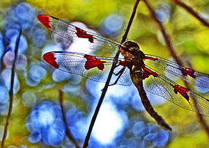 ( Krikit ) - Dragonfly in a tree (by)