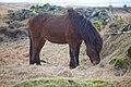 Ísland hestur - panoramio.jpg