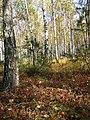 Березово-сосновий ліс із чорницевим та оково-різнотравним підліском.jpg