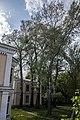 Група вікових дерев тополі білої 11.jpg