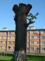 Дуб черешчатий, вік 300 років, посаджений у Архімандритському саду. Пам'ятка природи ботанічна.jpg